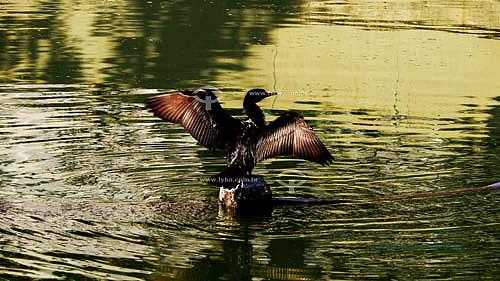 Pássaro Mergulhão na Lagoa Rodrigos de Freitas - Rio de Janeiro - RJ - Brasil - Abr/07  - Rio de Janeiro - Rio de Janeiro - Brasil