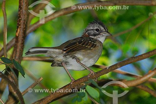 Tico-tico (Zonotrichia capensis) - São Pedro da Serra - RJ - Brasil  - São Pedro da Serra - Rio de Janeiro - Brasil