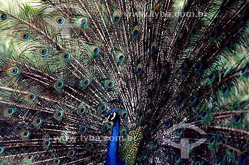 (Pavo cristatus) Pavão - pássaro de plumagem exuberante - Brasil