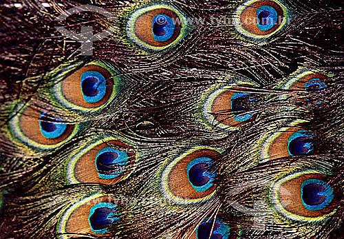(Pavo Cristatus) Pavão - detalhe da plumagem exuberante - Brasil