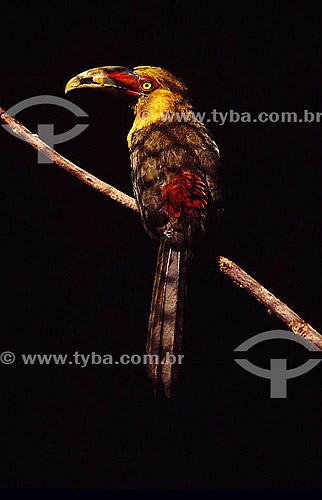 (Baillonius bailloni) Araçari-banana - Tucano - Brasil
