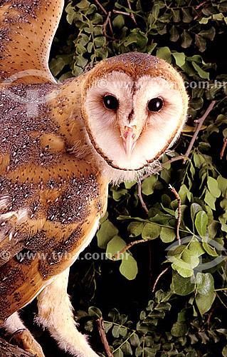 (Tyto alba) Coruja Suindara, Coruja-da-torre ou Coruja-branca - ocorre em todo o Brasil