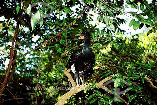 (Crax blumenbachii) Mutum-do-Sudeste - Brasil