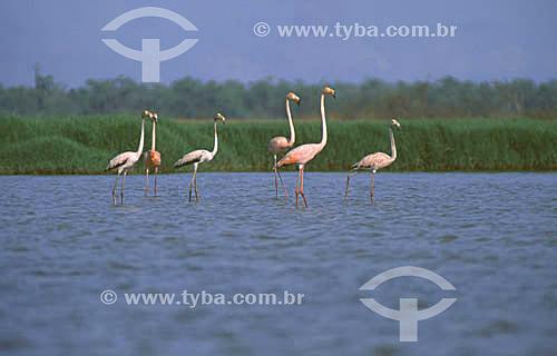(Phoenicopterus ruber) Flamingos na costa do Amapá - Brasil  - Amapá - Brasil