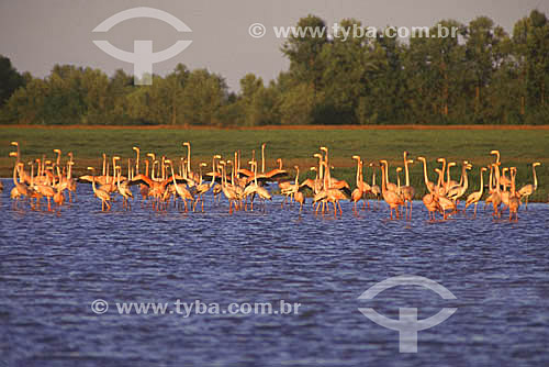 (Phoenicopterus ruber) - Flamingos na costa do Amapá - Brasil  - Amapá - Brasil
