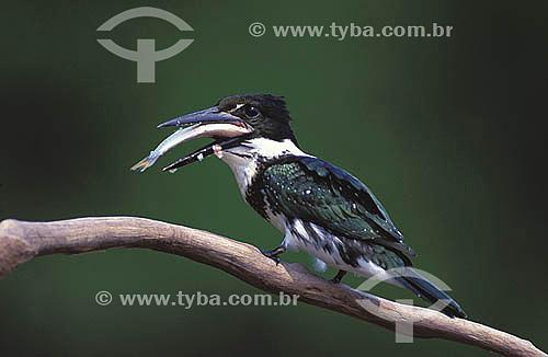 (Chloroceryle amazona) Martim-pescador-verde ou Aribamba-verde comendo peixe - Reserva de Desenvolvimento Sustentável Mamirauá - Amazônia - AM - Brasil  - Reserva - Amazonas - Brasil