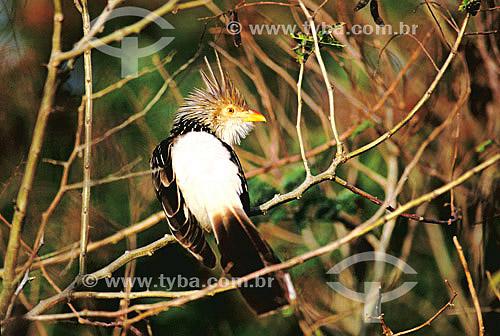 (Guira guira) Anu Branco - sul do Brasil