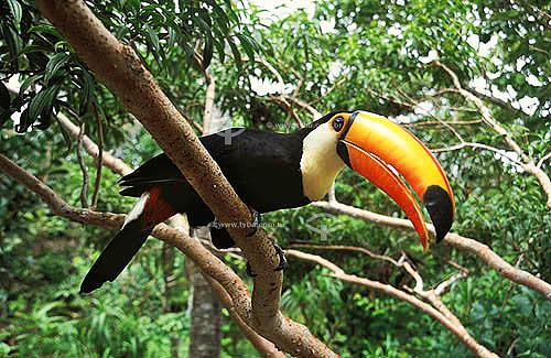 Assunto: (Ramphastos toco) Tucano-toco ou Tucanuçu / Local: Pirenópolis - GO - Brasil /  Data: 2009