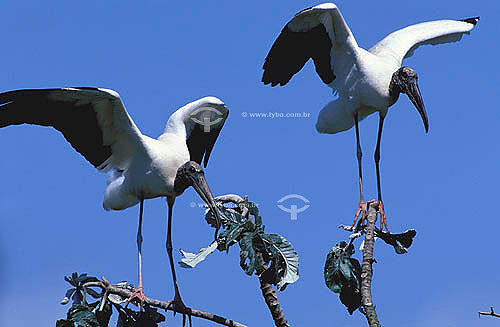 (Mycteria americana) pássaros Cabeça-Seca, Jabiru, Tuiuiú ou Passarão - Ilha de Marajó - PA - Brasil  - Pará - Brasil