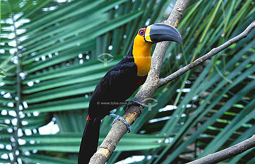 (Ramphastos vitellinus ariel) Tucano-de-bico-preto - Mata Atlântica - BA - Brasil  - Bahia - Brasil