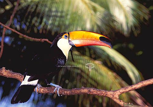 (Ramphastos toco) Tucano-toco ou Tucanuçu - Brasil