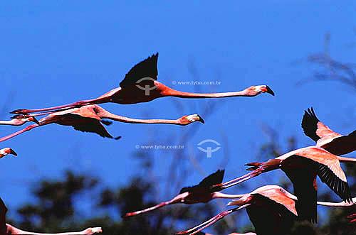 (Phoenicopterus ruber) Flamingos voando - Amapá - Brasil  - Amapá - Brasil