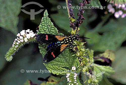 (Lepidoptera fam.Ctenuchidae) - mariposas e borboletas - Brasil