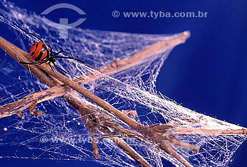 Aranha tecendo sua teia