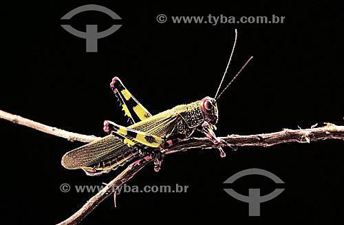 (Rhammatocerus acrididae) gafanhoto