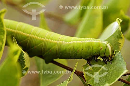 Inseto - Lagarta se alimentando de folha