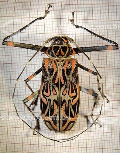 Cerambecídio (Acrocinus Longimanus) - Besouro oriundo do Cerrado - Tocantins - Brasil  - Tocantins - Brasil