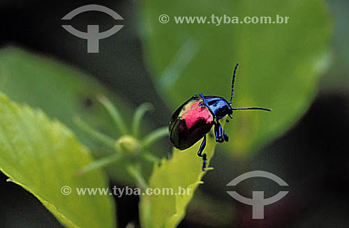 (Eumolpus sp ou Coleoptero ou Chrysomelidae ) Besouro - Brasil