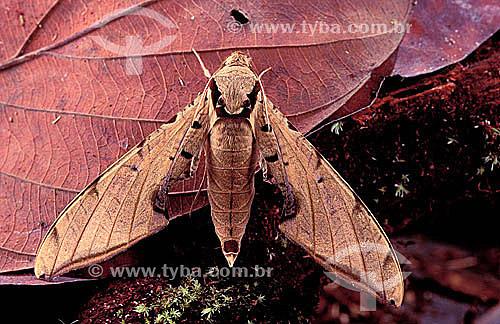 (Dirphia monticola) Mariposa