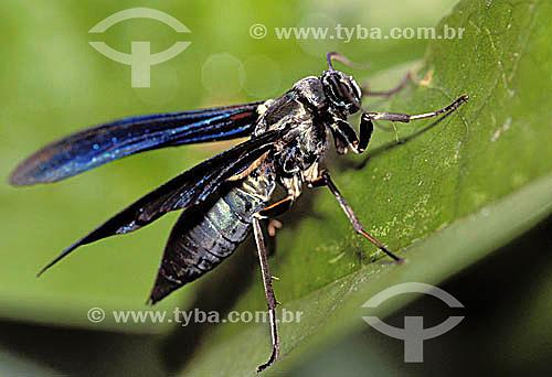 (Ctenuchidae Moth) - mariposa que mimetiza uma vespa