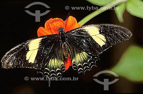 (Heraclides androgeus) Papilio - Borboleta - Brasil