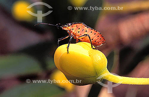 Hemíptero Pentatomidae