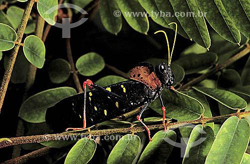 (Acrididae) Gafanhoto