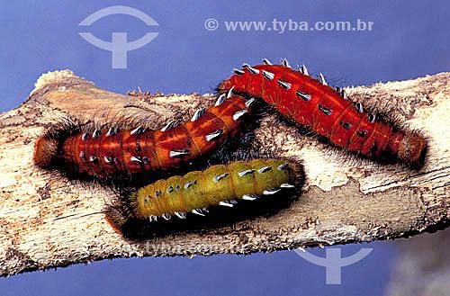 (Morpho hercules) - lagarta de borboleta