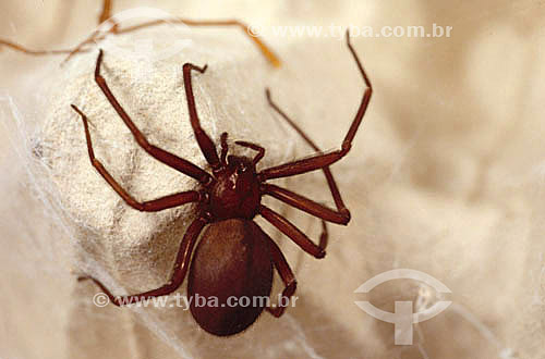 (Loxosceles int.) - aranha