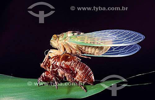 (Homoptera: Fam. Cicadidae) Vespa deixando casulo - Brasil