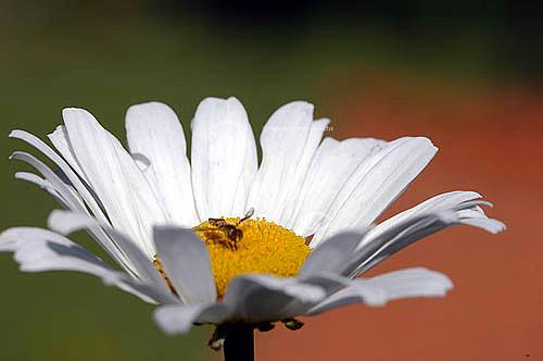 Abelha numa margarida (flor) - inseto, natureza