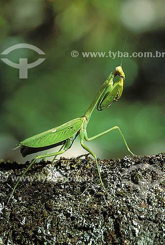 (Ordem Mantodea; família mantidae) Louva-a-deus - Mata Atlântica - Serrinha do Alambari - RJ - Brasil  - Rio de Janeiro - Brasil