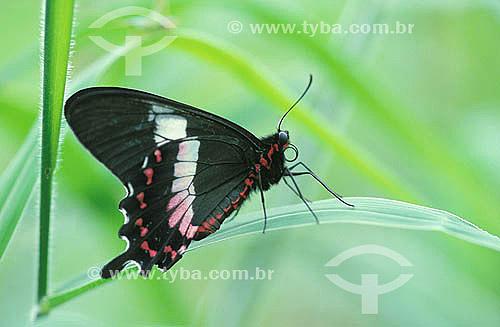 Assunto: Borboleta-da-praia (Parides ascanius) - também conhecida como borboleta-da-restiga / Local: Rio de Janeiro (RJ) - Brasil / Data: 2010