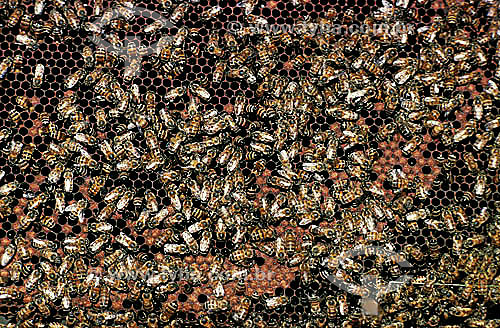 Colméia de abelhas  - Amazonas - Brasil