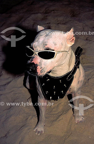 Pitbull de óculos escuros e roupa de couro - Posto 9 - Ipanema - Rio de Janeiro - RJ - Brasil  - Rio de Janeiro - Rio de Janeiro - Brasil