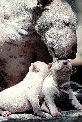 Bull Terrier - cachorro