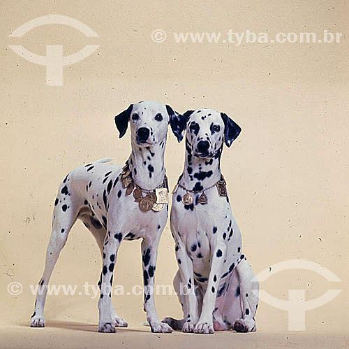 Dalmatas - cachorro