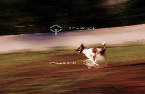 Cão da raça Fox Terrier (pêlo liso) correndo - Brasil
