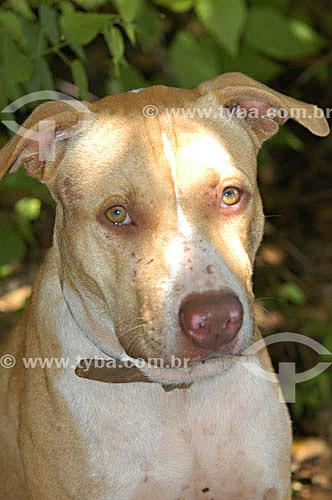 Cão de raça - Pitbull