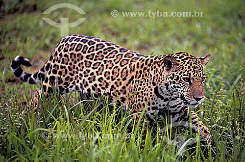 Onça pintada / JaguarLocal: ParáData: 1996