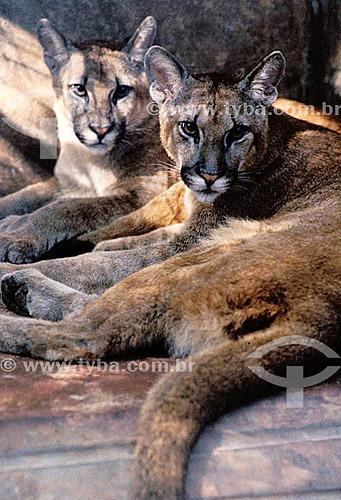 (Puma concolor) Suçuarana
