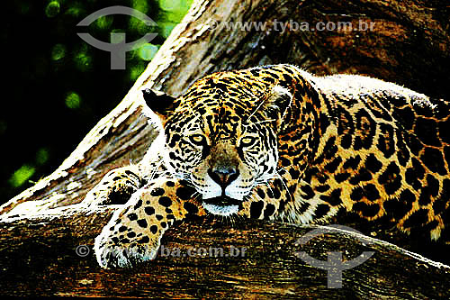 (Panthera onca) Onça-pintada  - Amazônia - Brasil
