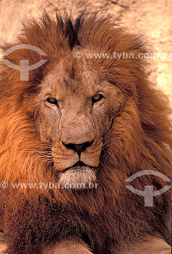 (Panthera leo) - Leão