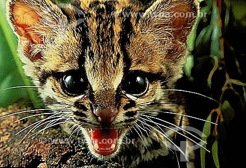 (Felis pardalis) Filhote de Jaguatirica