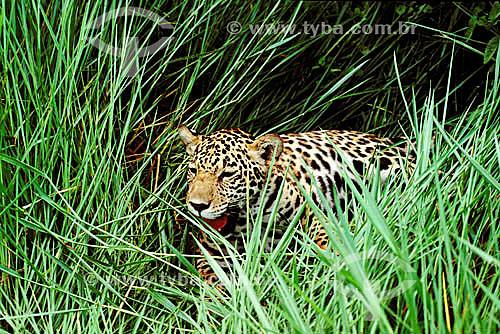 (Panthera onca) Onça-pintada no mato - Amazônia - Brasil