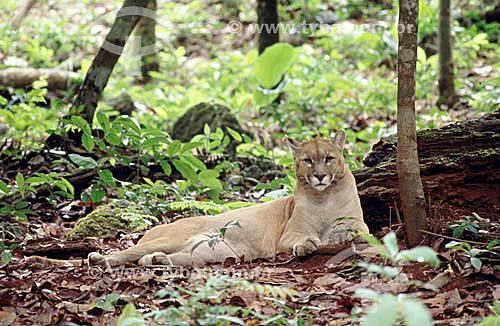 (Felis concolor) - Onça Parda ou Suçuarana - Floresta Amazônica - Brasil
