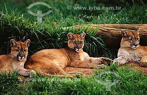 (Felis concolor) Grupo de Onças Pardas ou Suçuarana - Floresta Amazônica - Brasil