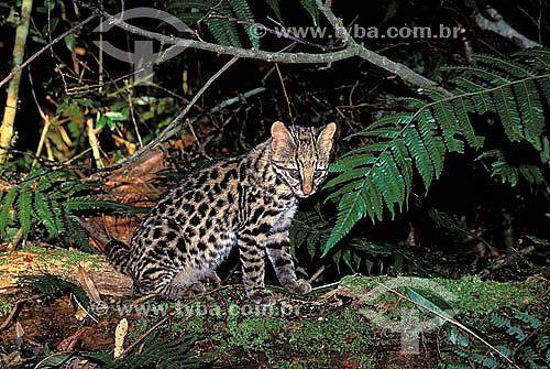 Assunto: Gato-do-mato (Leopardus tigrinus) - também conhecido como Gato-do-mato-pequeno - na Mata Atlântica / Local: Porto Seguro - Bahia (BA) - Brasil / Data: 1998