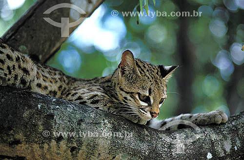 Assunto: Gato-do-mato (Leopardus tigrinus) - também conhecido como Gato-do-mato-pequeno - na Mata Atlântica / Local: Rio de Janeiro (RJ) - Brasil / Data: 1995