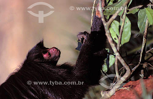 (Ateles paniscus) Macaco- Aranha